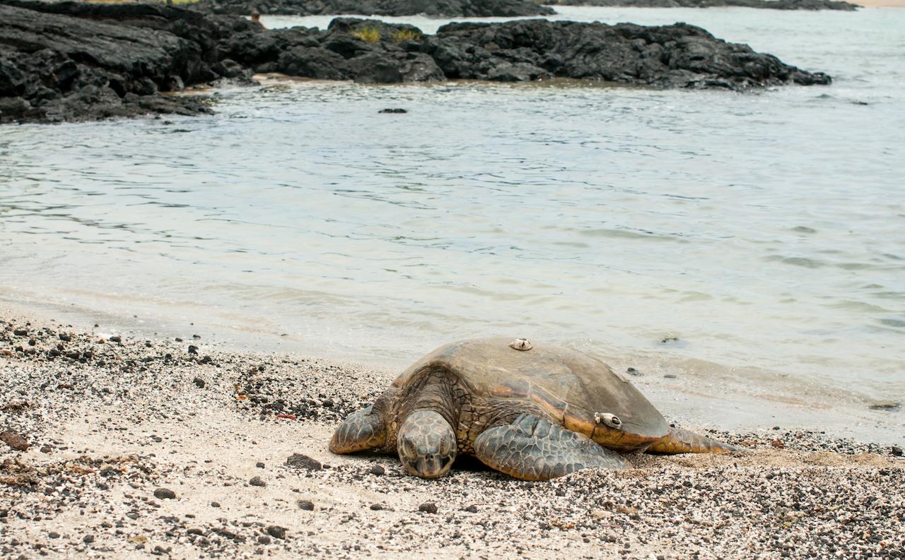 Green sea turtle on Big Island of Hawaii // Зелёная черепаха на Гавайях